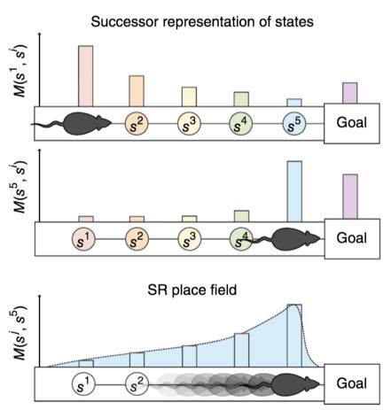Successor representation of a linear track
